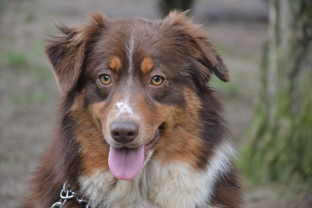 chiens-Berger-Australien-0871b325-2969-f
