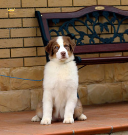chiens-Berger-Australien-216210c5-03ad-c