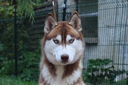 chiens-Siberian-Husky-844c7e2e-a326-9fe4