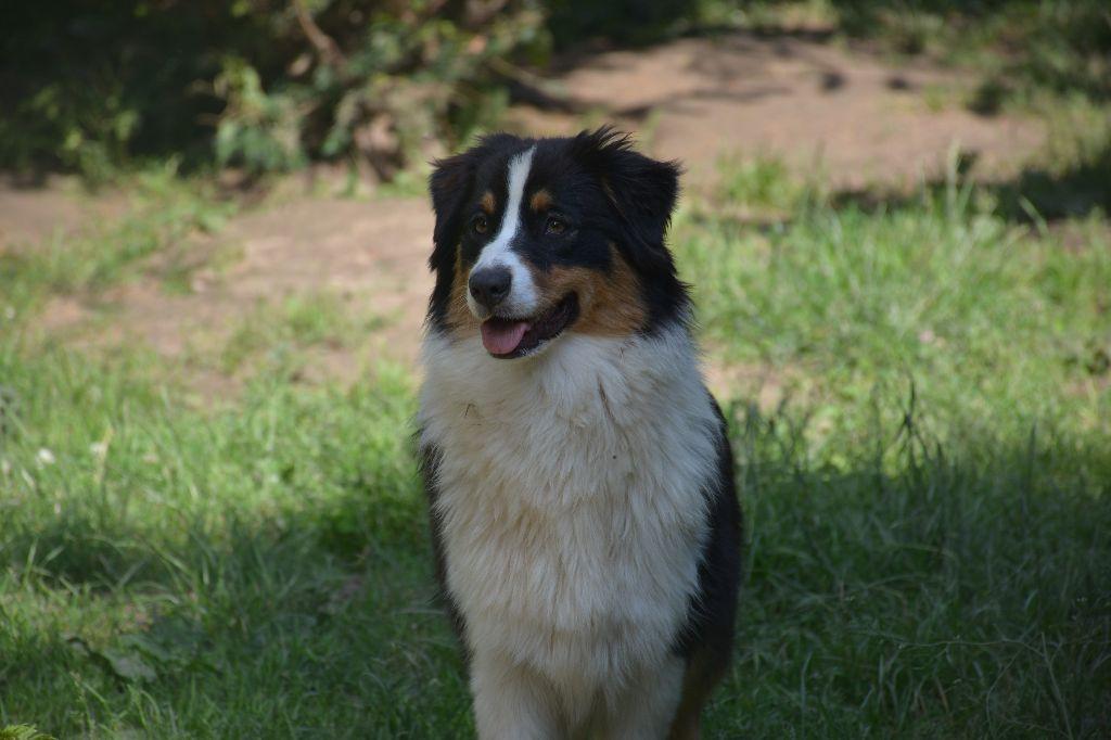 chiens-Berger-Australien-ba114715-0259-4