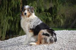 chiens-Berger-Australien-f6c96fd9-26d9-e