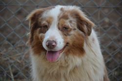 chiens-Berger-Australien-804a3c7c-b016-e