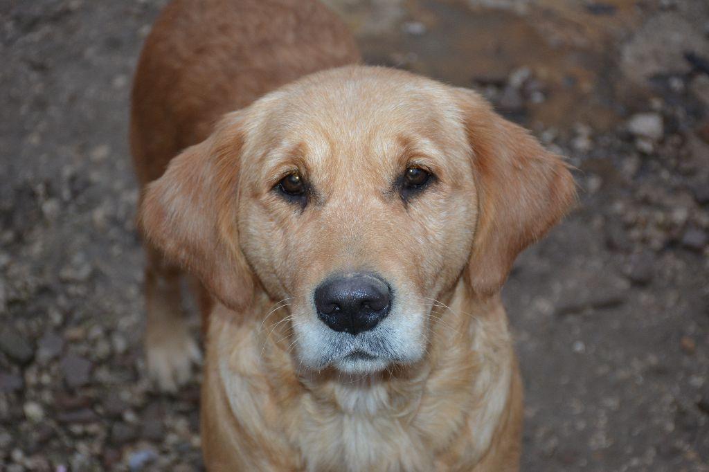 chiens-Golden-Retriever-e5a01cc7-983d-3f