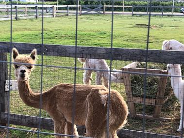 Green Gables Alpaca Farm_5757.jpeg