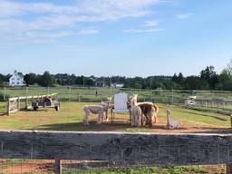 Green Gables Alpaca Farm_5756.jpeg