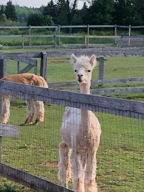 Green Gables Alpaca Farm_5758.jpeg
