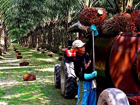 rspo_pics_palm_plantation2.jpg