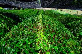 Tea Garden Day 1-8.jpg