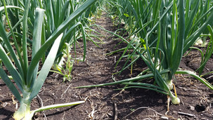 Onion Thrips Research