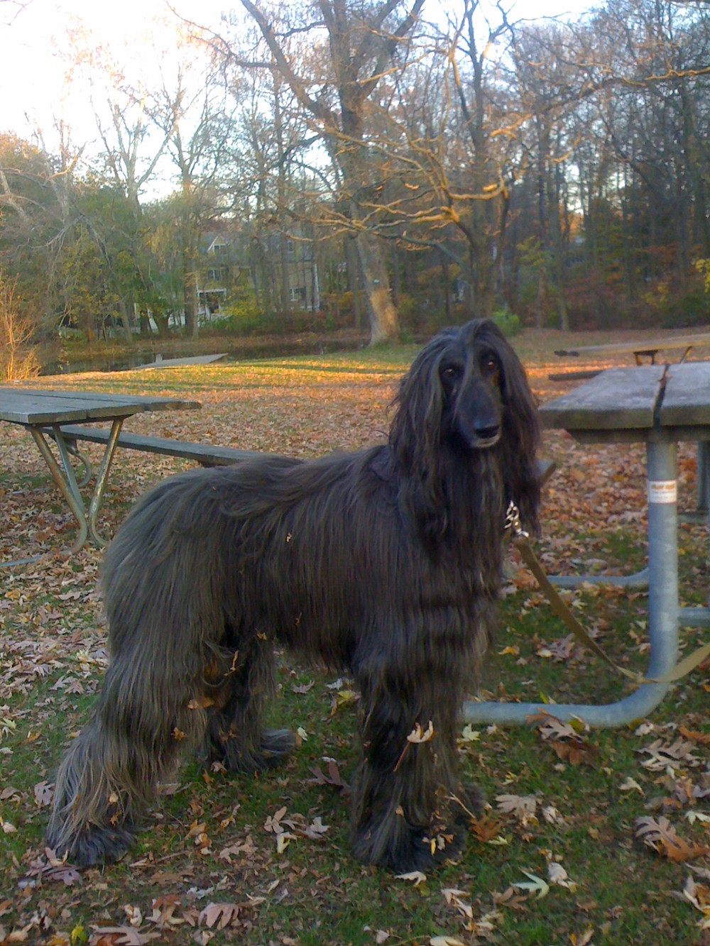 Bux the Afghan Hound