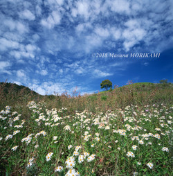 14 野菊とうろこ雲/愛知県豊根村/2012.10.14 11:00