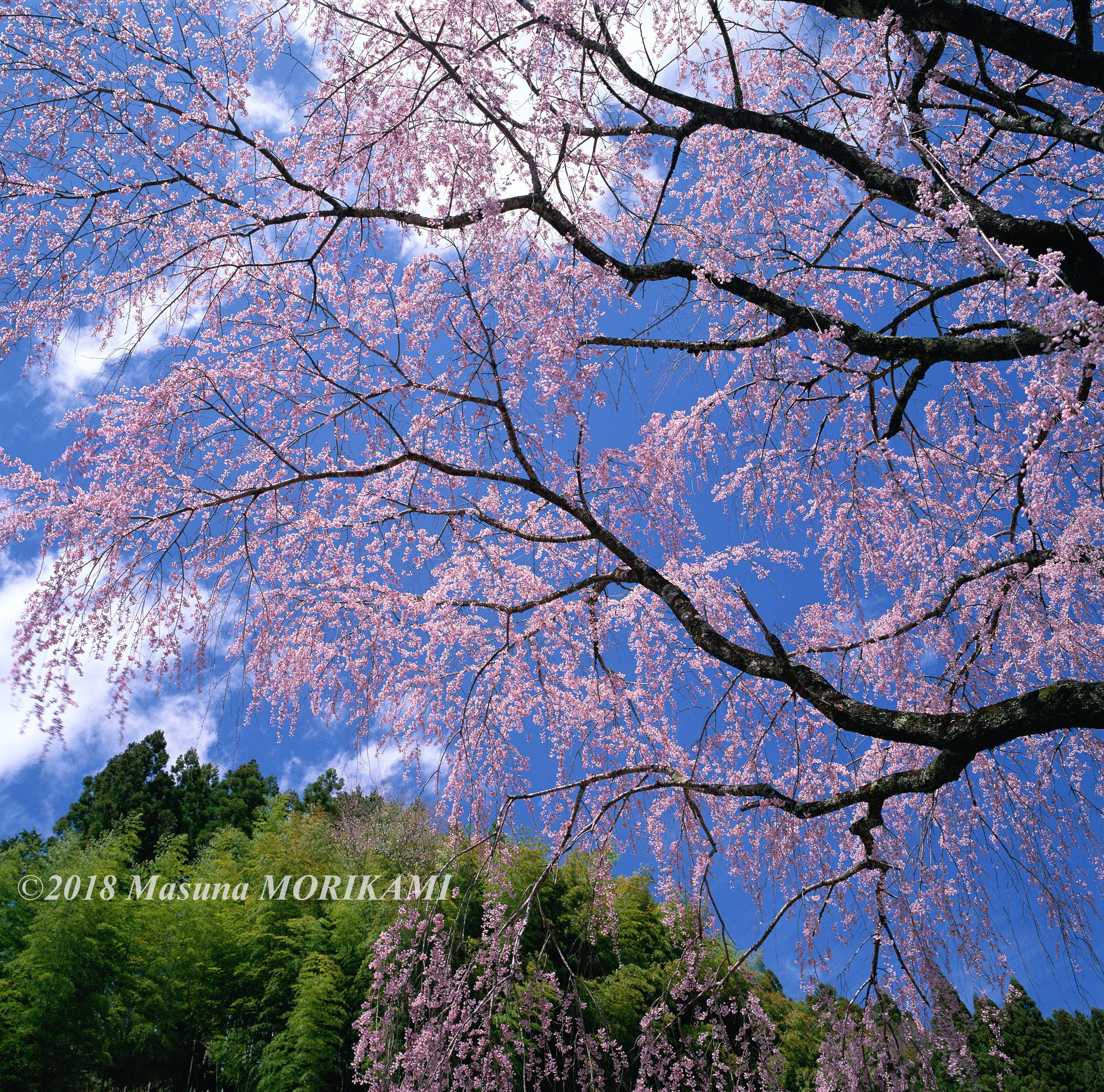 01 桜晴れ/愛知県豊根村/2006.4.16 13:10