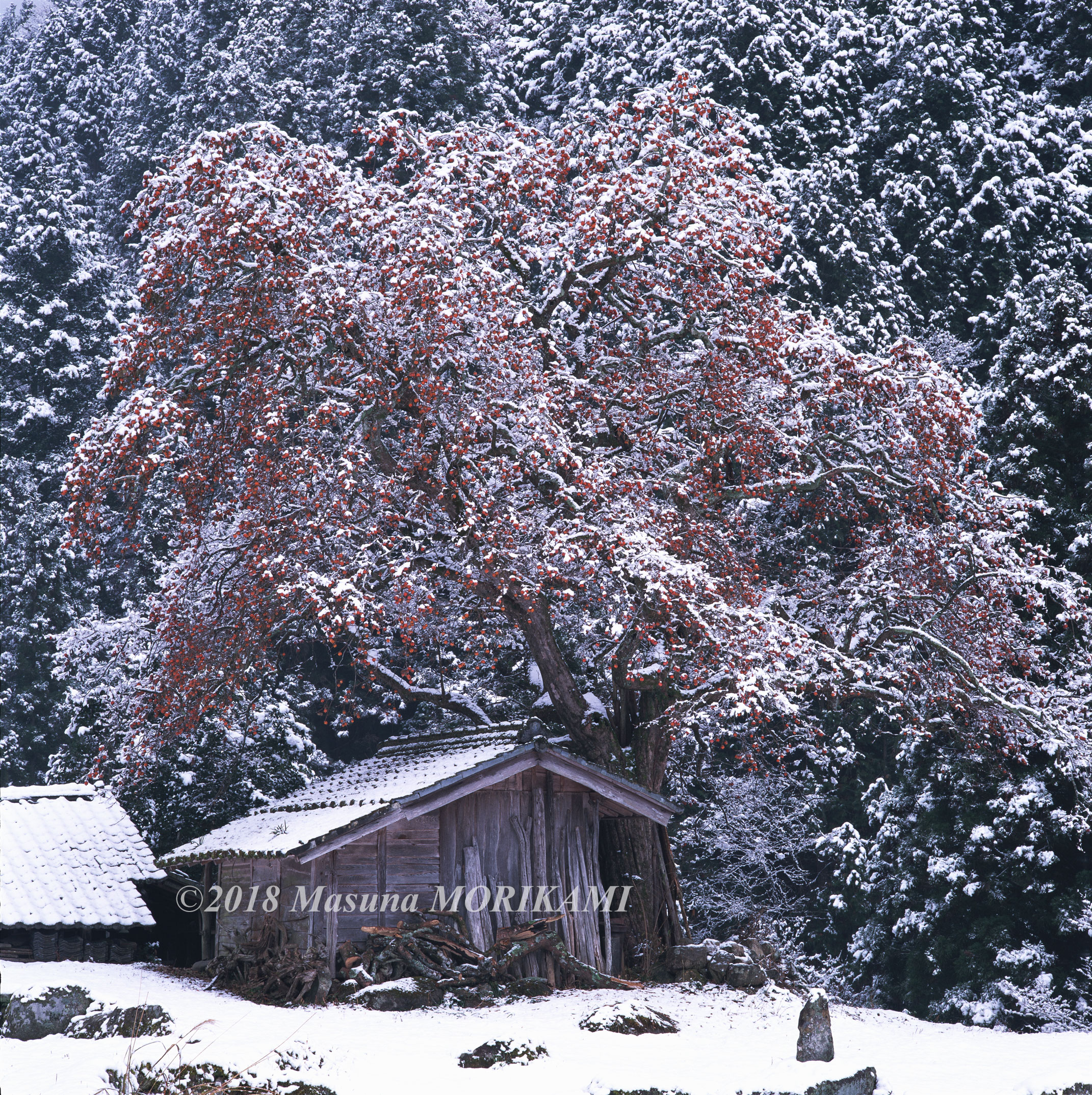 22 雪持ちの柿/長野県根羽村/2005.12.4 15:00