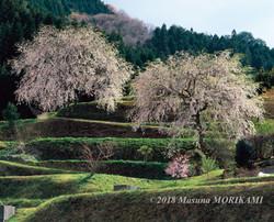 06 夫婦桜/長野県根羽村/2013.4.21 15:30