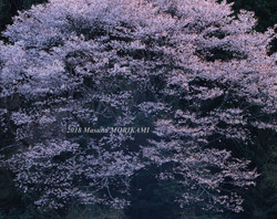 02 千の花束/愛知県新城市/2008.4.6 18:00