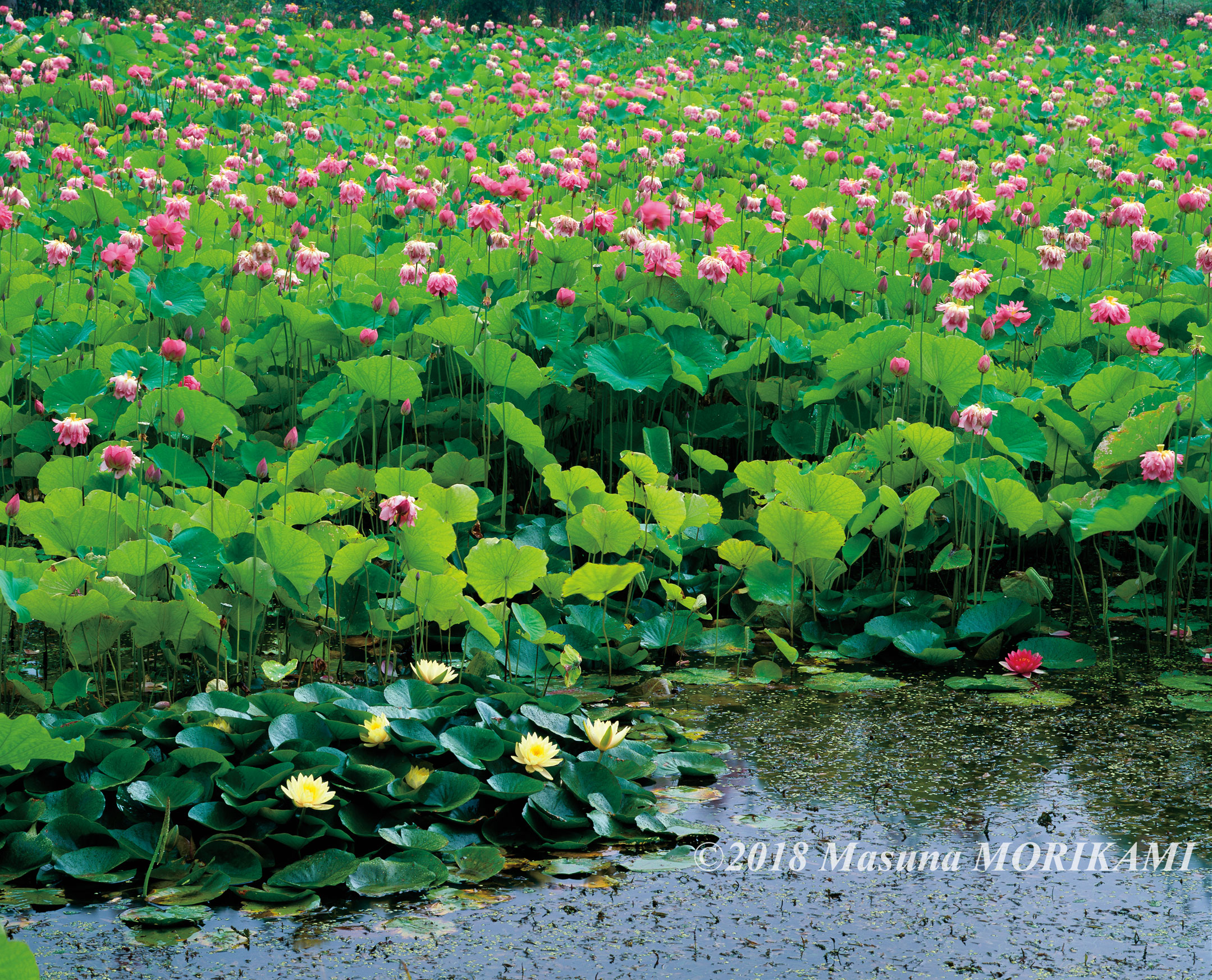13 盛夏の蓮池/長野県売木村/2010.8.11 9:05