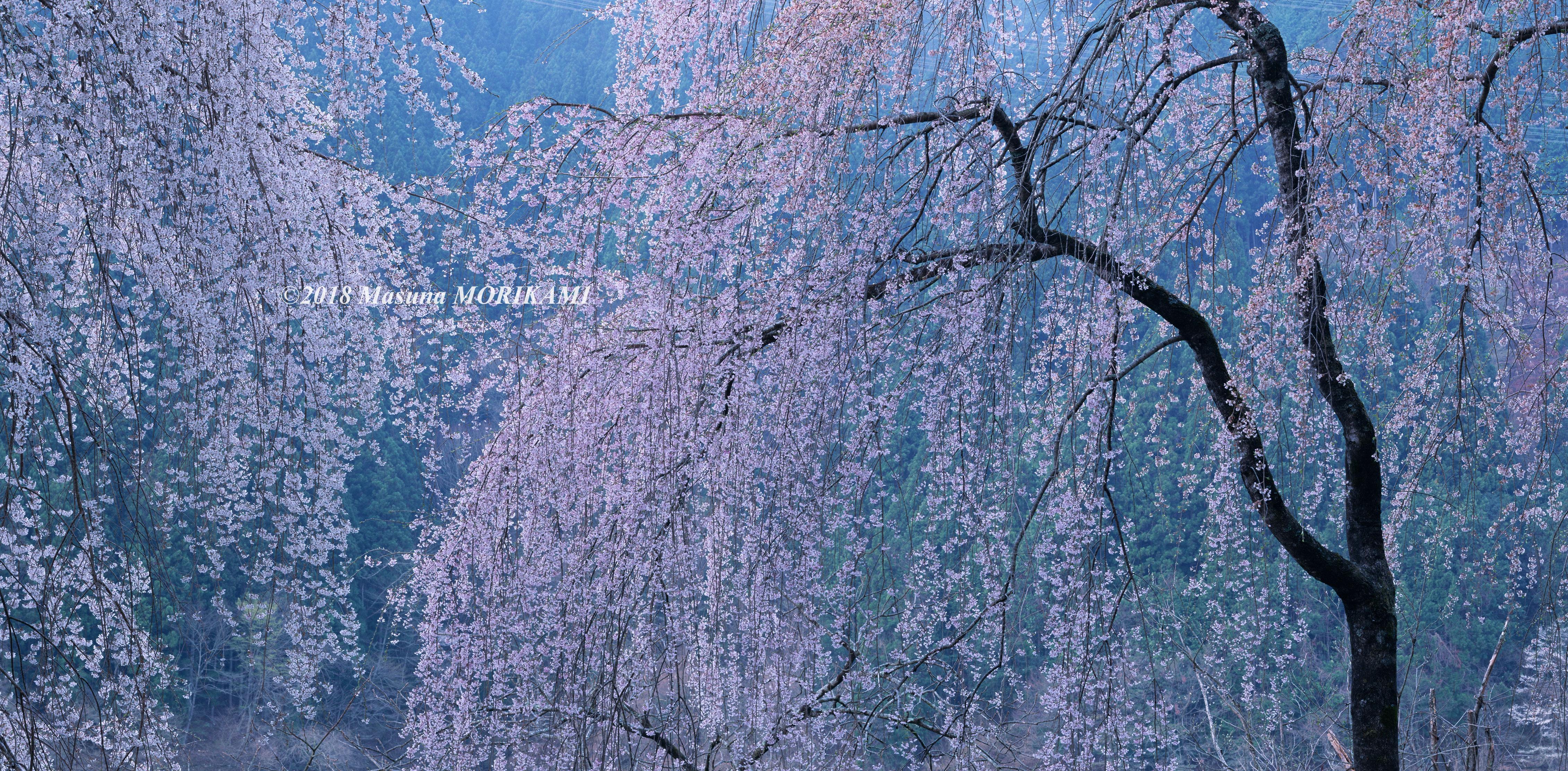 02 千の桜花/愛知県豊根村/2010.4.11 5:45