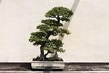 green-bonsai-tree-in-white-pot-2778192.j