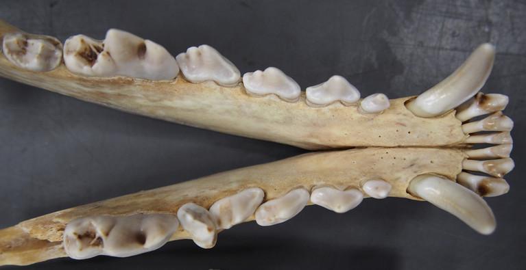 Coywolf mandible