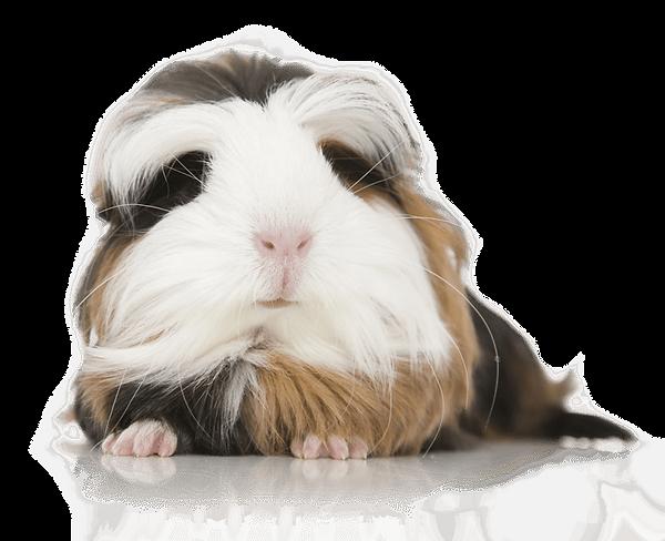 long-hair-guinea-pig-pet-.png