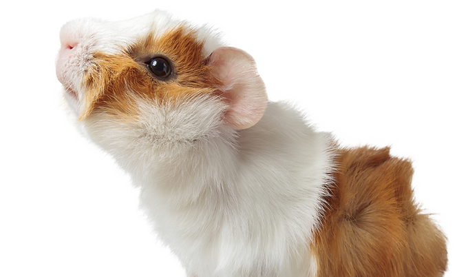 24113542_guineapig.png