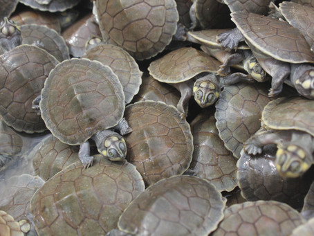 It's a Turtle Tsunami!  Thousands of Endangered Giant South American River Turtles Hatch (VIDEO)