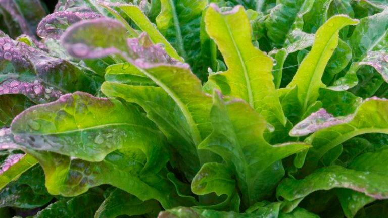 Salade feuille de chêne Hussard