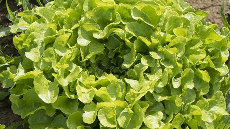 PROMO x2 Salade chêne blonde