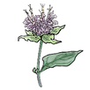 apothecary beebalm.png