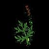 Mugwort 500x500.png