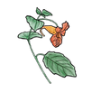 apothecary jewelweed.png