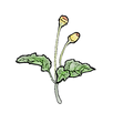 Spilanthes 500x500.png