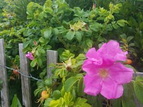 Rose Petals Materia Medica