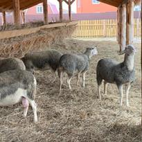 Овцы.jpeg