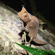 Dwarf Leaf Chameleon