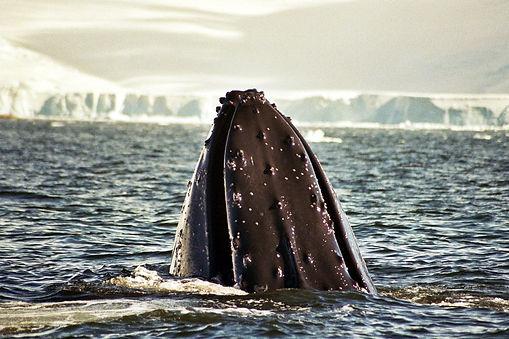 humpback whale 3.jpg