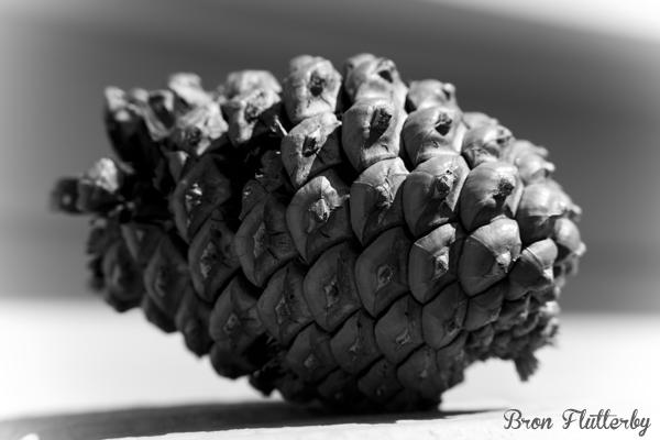 Pine Cone #1