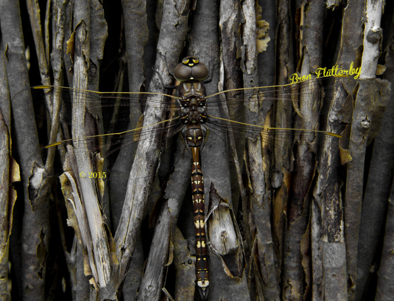 dragonfly meets flutterby
