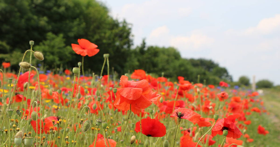 the-royal-british-legion-poppy-field.jpg
