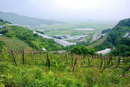 sakai-winery-vineyard.jpg
