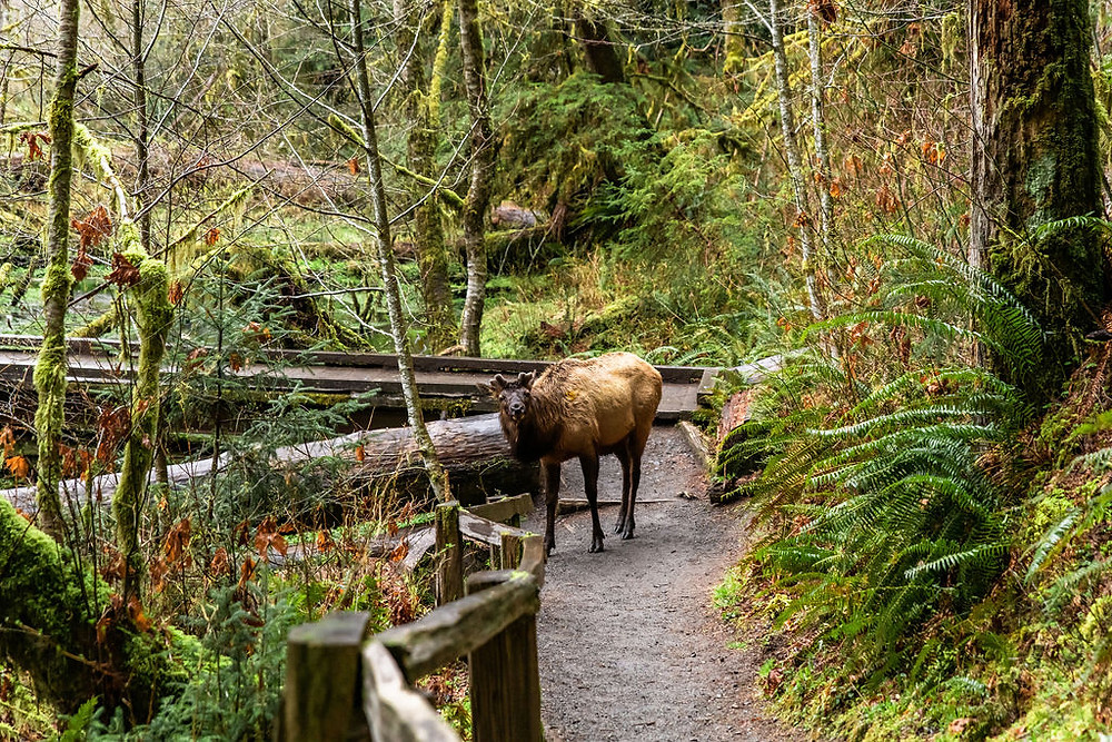 An elk on the Hall of Mosses in the Hoh Rainforest in Olympic National Park
