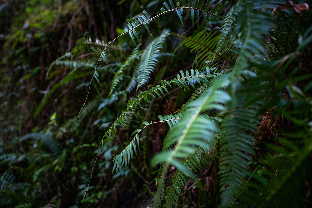 The ferns in Olympic National Park