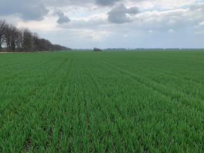 Стан озимої пшениці на Полтавщині