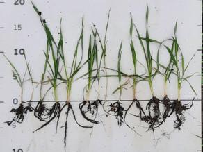 Розвиток озимої пшениці весною