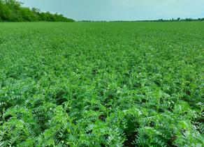 Ефект від обробки насіння нуту та коріандру!