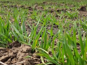 Кращий вибір для відновлення вегетації озимих