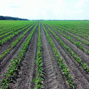Значення стимулювання розвитку  кукурудзи у фазі 6-9 листків!