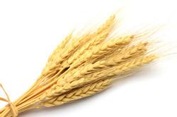 зернові колосові ярі