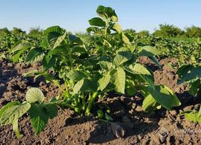 Досліджено вплив регулятора росту на кореневу систему рослин картоплі