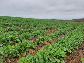 Подолаємо проблеми при відновленні весняної вегетації на ріпаку
